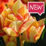 aquilla_tulip_Ruigrok_Flowerbulbs