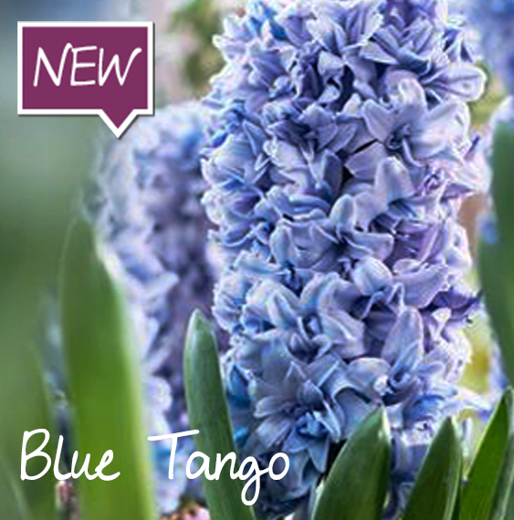 hyacinth-blue-tango-ruigrok-flowerbulbs