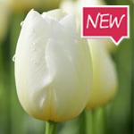 fremont-tulip-ruigrok-flowerbulbs