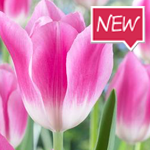 royal-ten-tulip-ruigrok-flowerbulbs