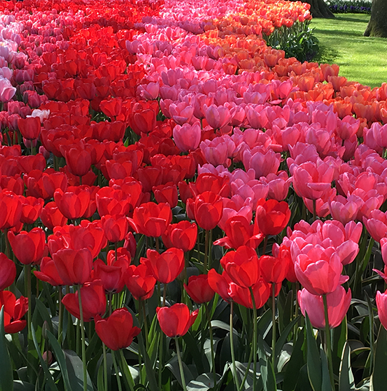 Tulips Ruigrok Flowerbulbs
