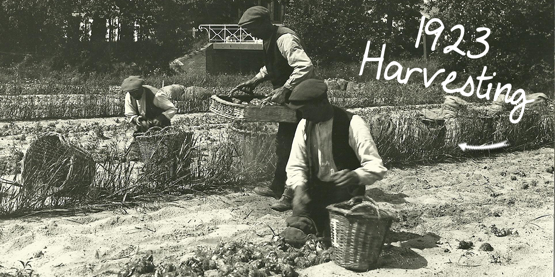 1923_harvesting