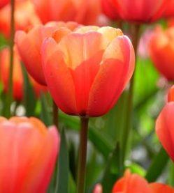 Tulipa Apricot Impression