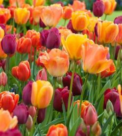 Blushing Purple Ruigrok Flowerbulbs
