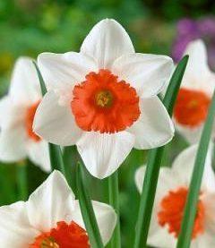 Daffodil Decoy