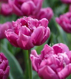 Tulip Double Flag