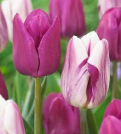 Flaming Purple Ruigrok Flowerbulbs