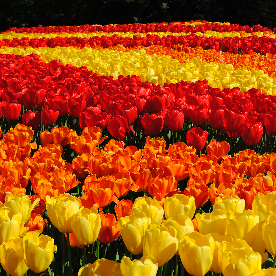 landscape-professionals-ruigrok-flowerbulbs