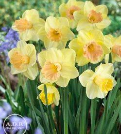 Daffodil Lorikeet