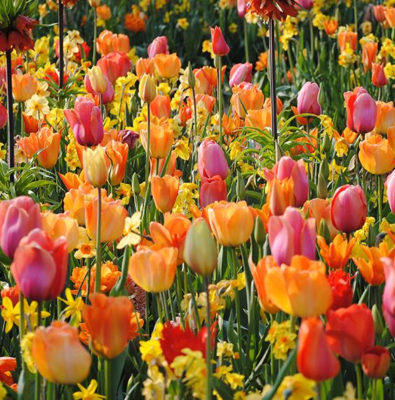 tulips-ruigrok-flowerbulbs