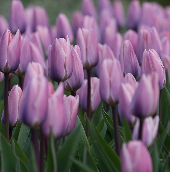 tulips-ruigrok-flowerbulbs-netherlands-quotation