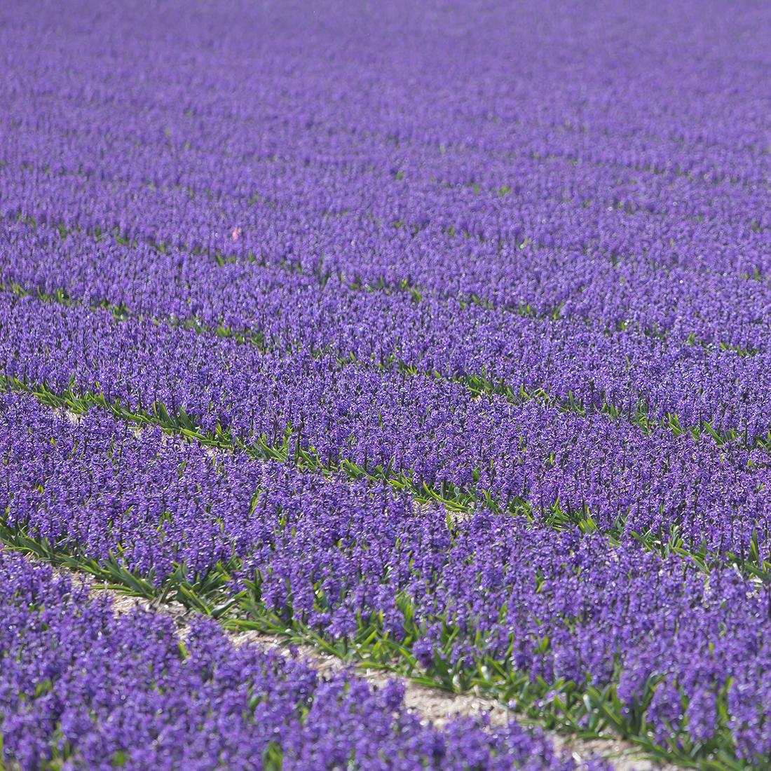 hyacinth-fields
