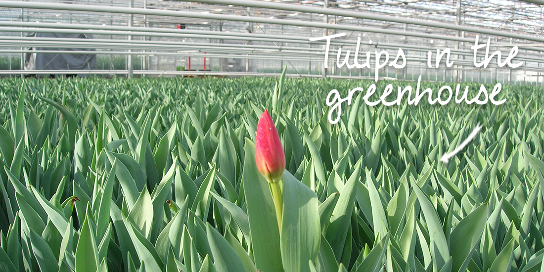 Tulips in Greenhouse
