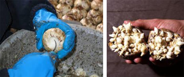 hyacinth-bulb-ruigrok