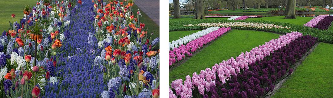hyacinth-bulbs-landschaping-ruigrok