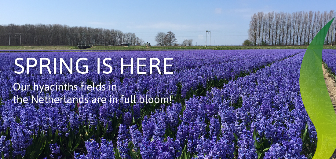 Our Hyacinths Fields Are In Full Bloom!