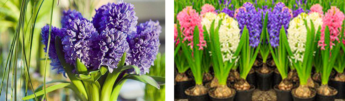 hyacinth-forcing-ruigrok