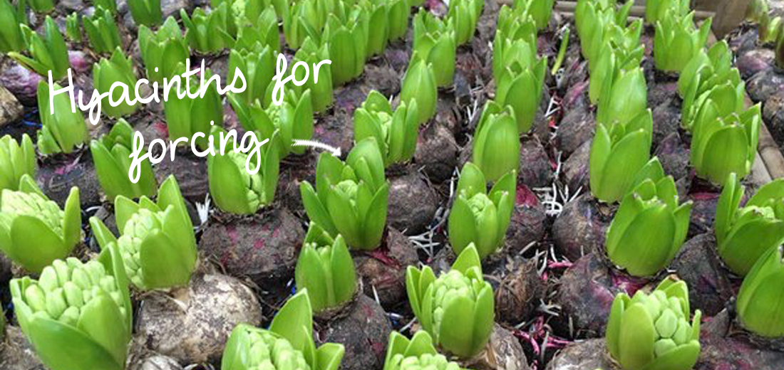 hyacinths-for-forcing