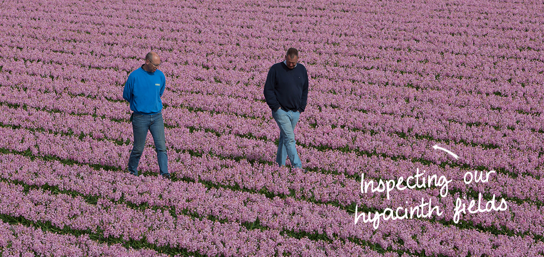 inspecting-hyacinthsfields