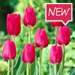 TheCure_tulips_RuigrokFlowerbulbs