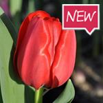 West_Frisian_Fire_Flowerbulbs
