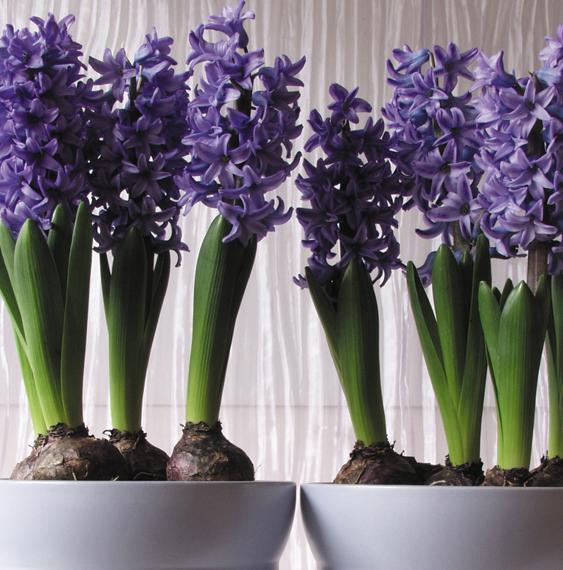 hyacinth-pot-ruigrok-flowerbulbs