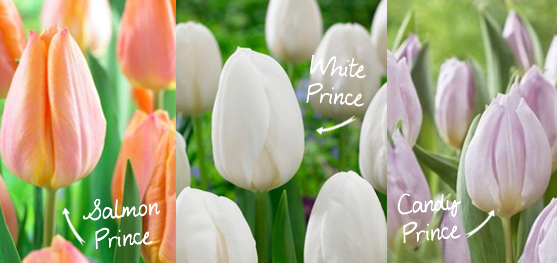 tulip-production-ruigrok