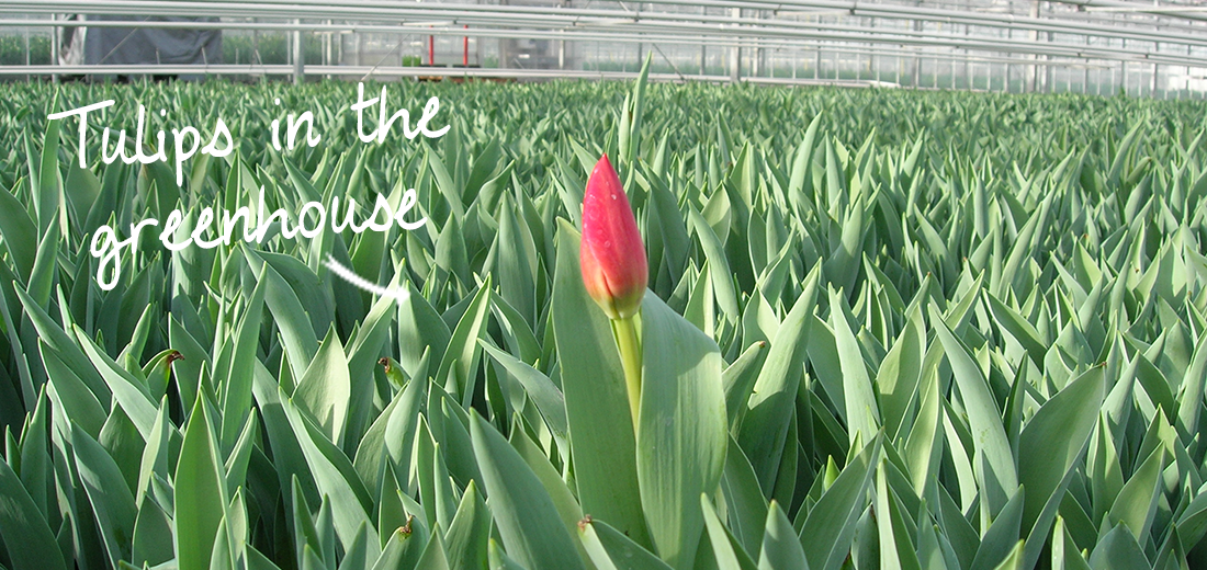 tulips-in-the-greenhouse
