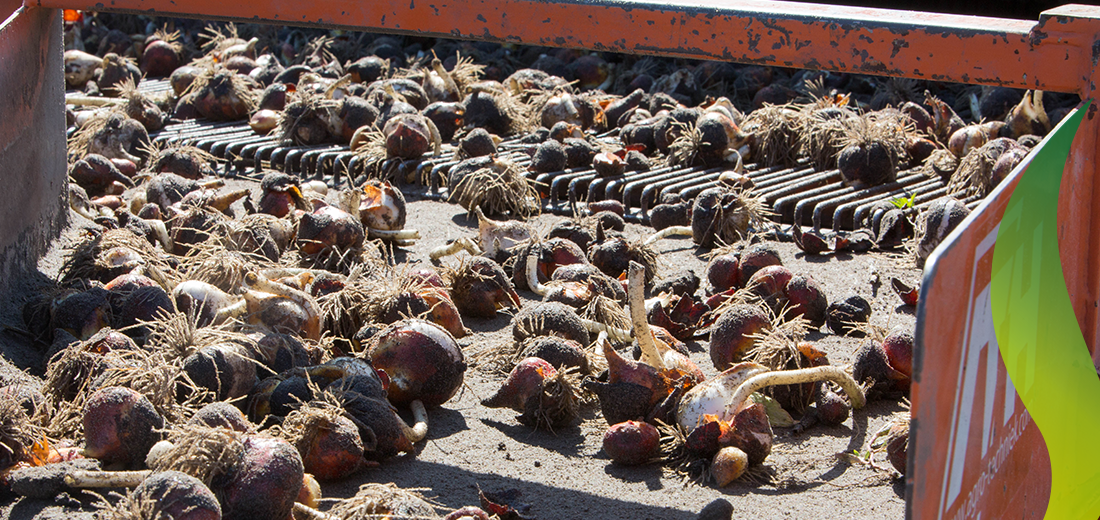 5_Harvesting-season-Ruigrok-Flowerbulbs