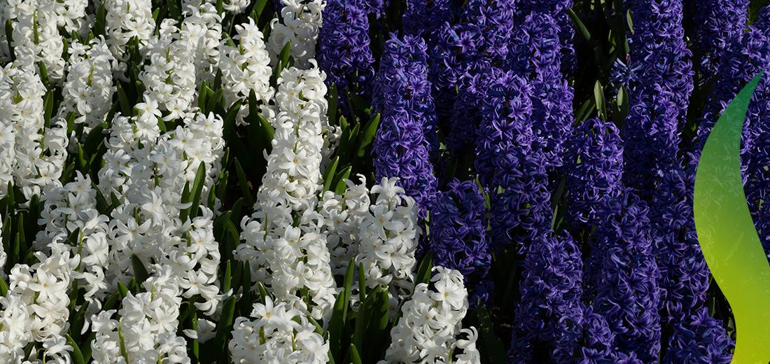 3 Great Hyacinths