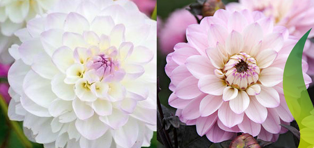 Dahlias Ruigrok Flowerbulbs