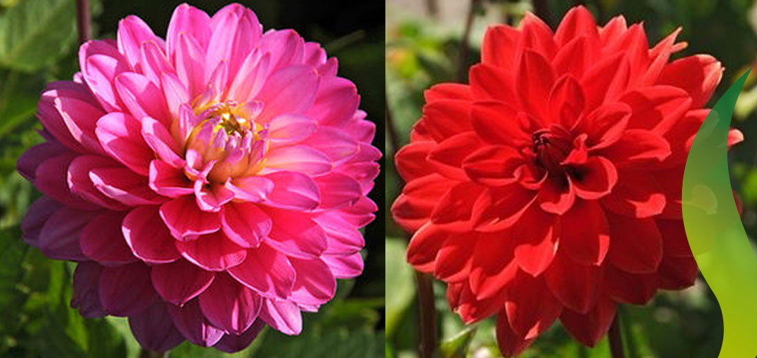 Beautiful Dahlia: the summer bulb for the year 2017!