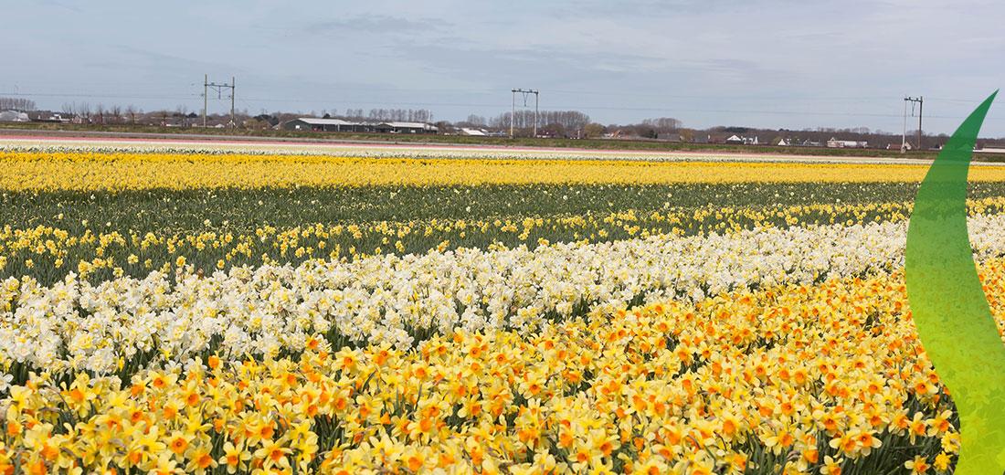 170330_Spring_RuigrokFlowerbulbs_2
