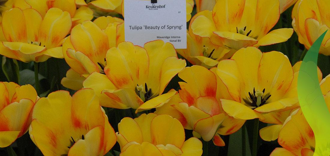 Beauty of Spring Ruigrok Flowerbulbs