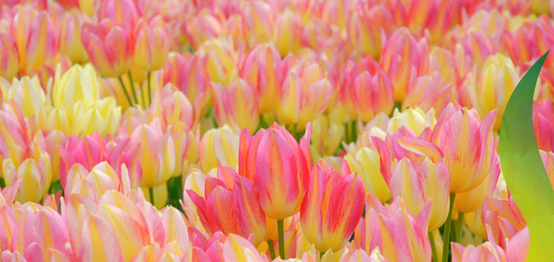 Antoinette Ruigrok Flowerbulbs