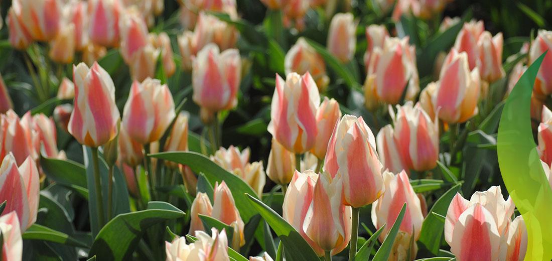 Quebec Ruigrok Flowerbulbs