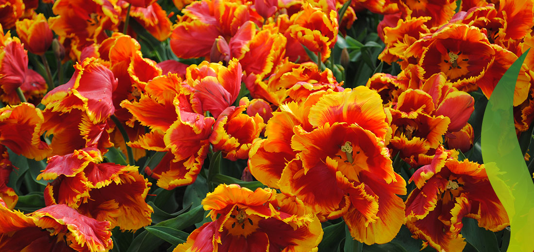 Flaming Parrot Ruigrok Flowerbulbs