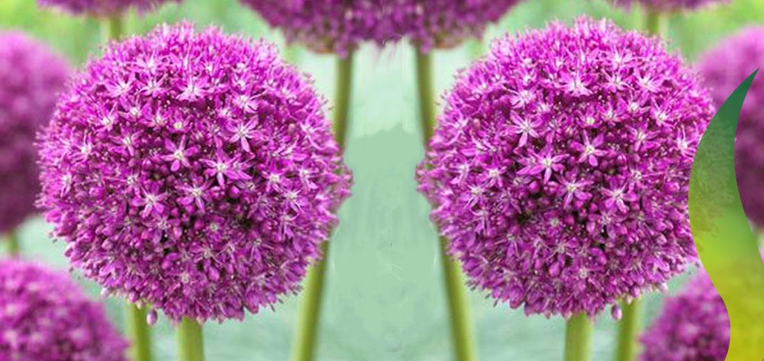Allium Ambassador Ruigrok Flowerbulbs