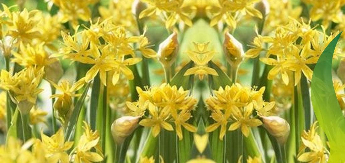 The season of the allium ruigrok flowerbulbs extra benefits and facts mightylinksfo