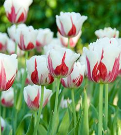 Tulip World Expression