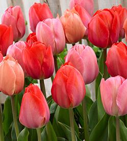 Tulip Mix van Eijk