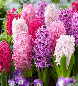 Hyacinth Mix The Pink