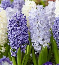 Hyacinth Mix The Blues