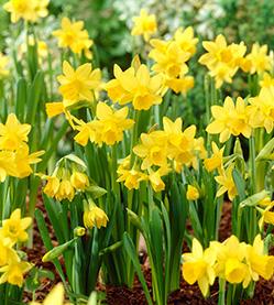 Daffodil Tête à Tête