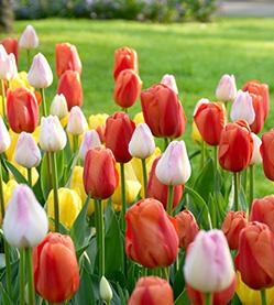 Tulip Mix Sunshine