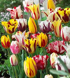Tulip mix Rembrandt