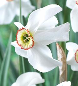 Daffodil Poeticus Recurvus