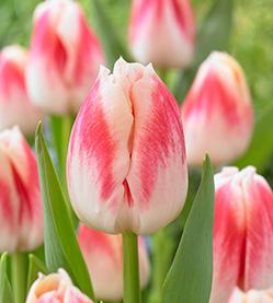 Tulip Pleasure