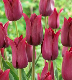 Tulip Merlot