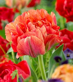 Tulip Double Gudoshnik